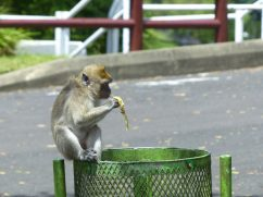 Affe beim Hindutempel