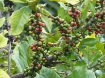 Chamarel-Kaffee