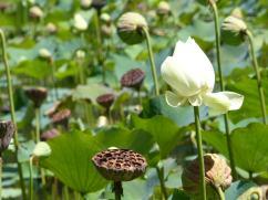 Pamplemousse Garden - Lotus