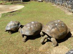 Pamplemousse Garden - Riesenschildkröte