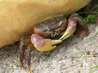 La Digue - Krabbe