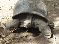 La Digue - Riesenschildkröte