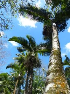 Mauritius-Pamplemousse_Garden-1