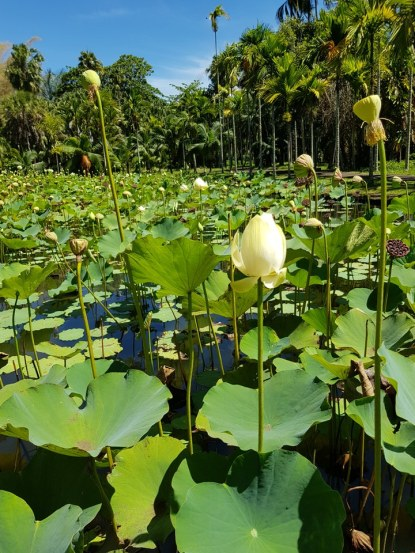 Mauritius-Pamplemousse_Garden-Lotus-1