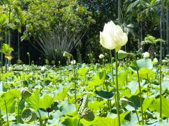 Mauritius-Pamplemousse_Garden-Lotus-6