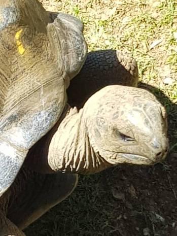 Mauritius-Pamplemousse_Garden-Riesenschildkroete-1