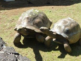 Mauritius-Pamplemousse_Garden-Riesenschildkroete-2