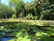 Mauritius-Pamplemousse_Garden-Seerosen-1