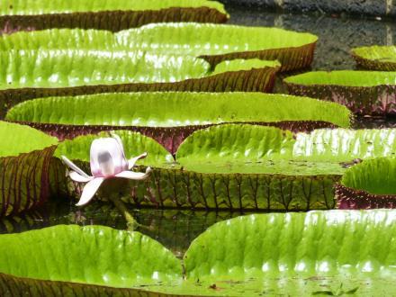 Mauritius-Pamplemousse_Garden-Seerosen-3