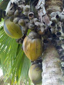 Seychellen-Mahe-Botanischer_Garten-Coco_de_Mer-1