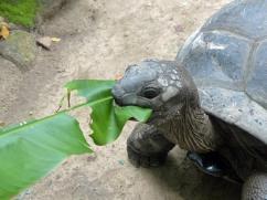 Seychellen-Mahe-Botanischer_Garten-Schildkroete-3