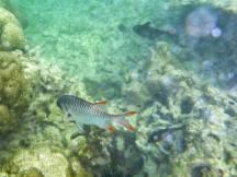 Seychellen-Ste_Anne_Marine_National_Park-Schnorcheln-Fische-2