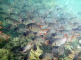 Seychellen-Ste_Anne_Marine_National_Park-Schnorcheln-Fische-4