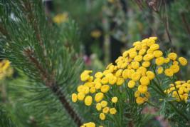 Norwegen-Eidfjord-Blume-1