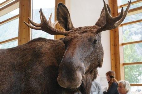Norwegen-Eidfjord-Hardanger_Naturcenter-Ausstellung-Elch-3