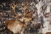 Norwegen-Eidfjord-Hardanger_Naturcenter-Ausstellung-Rentier-4