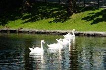Norwegen-Stavanger-Stadtpark-Schwan-5